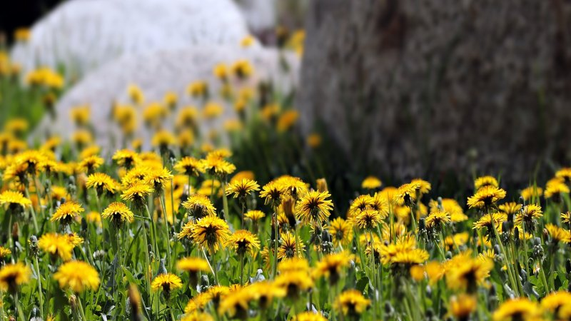 How to Deal With Dandelions Blogging Fusion Article
